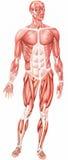 Anatomical man Stock Image