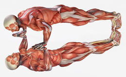 Anatomical man exercising Stock Photos
