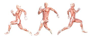 Anatomical man running muscles stock image