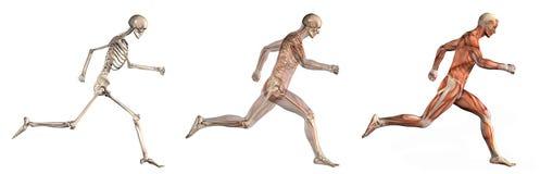anatomical mansamkopieringar som kör sidosikt Arkivbild