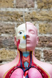 Anatomical Medical Model. Head section of an anatomical medical model/mannequin stock photo