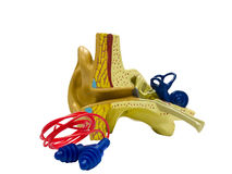 Anatomical model ear and ear plugs Stock Photo