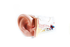 Anatomical Model ear isolated on white background stock photography