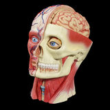 Anatomical model head. A photo of a model of a human head showing what's under the skin Stock Photo