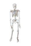 Anatomical Model human skeleton Stock Images