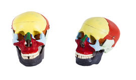 Anatomical model of a human skull closeup isolated on white background Stock Image