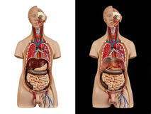 Anatomical model  unisex torso Stock Photos