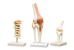 Anatomical models of the joints. Stock Image