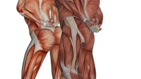 Anatomical Muscular System male spinning on axis on white background. 4K. Muscular system of man and woman stock illustration