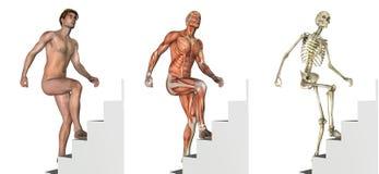 Anatomical Overlays: Climbing Stairs Stock Photo