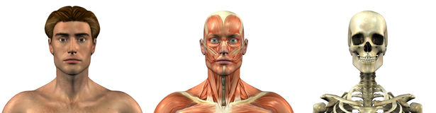 Anatomical Overlays - Male - Head and Shoulders - front. Series of three anatomical 3D renders depicting a man facing front, head and shoulders, muscles and Royalty Free Stock Photo