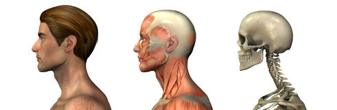 Anatomical Overlays - Male - Head and Shoulders - profile. Series of three anatomical 3D renders depicting a man in profile, head and shoulders, muscles and Stock Photo