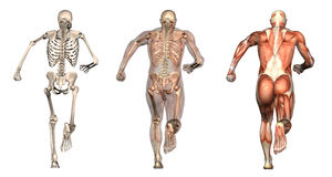 Anatomical Overlays - Man Running - Back View Stock Image