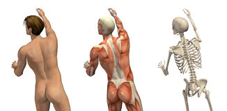 Anatomical Overlays - Turning and Reaching. Anatomical overlays - man seen from back view - turning and reaching up. These images will line up exactly, and can Royalty Free Stock Image
