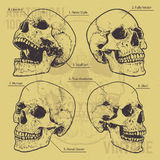Anatomical Skulls Vector Set Royalty Free Stock Images