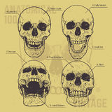 Anatomical Skulls Vector Set Stock Photo