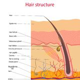 The anatomical structure of the hair on the head of a person under a microscope close-up. Vector illustration. royalty free illustration