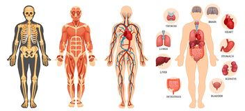 Structure of human body, skeleton, muscular system, blood vessels, organs.