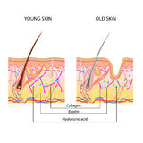 The anatomical structure of the skin. Young and old Royalty Free Stock Photo