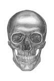 anatomical teckning Arkivbild