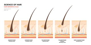 Anatomical training poster. Hair growth phase step by step. Stages of the hair growth cycle. Anagen, telogen, catagen