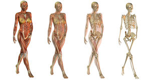 Anatomical women bodies Stock Photos