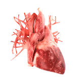 Anatomically correct 3d model of human heart Royalty Free Stock Images