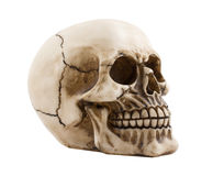 Anatomically correct medical. Model of the human skull royalty free stock photography