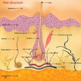 Anatomiczna struktura włosy na głowie osoba pod mikroskopem w górę również zwrócić corel ilustracji wektora hairball ilustracji