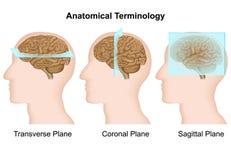 Anatomiczna terminologia, anatomicznych samolotów medyczna wektorowa ilustracja royalty ilustracja