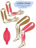 anatomie stock abbildung