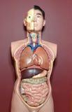 Anatomie Stock Fotografie