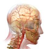 Anatomie illustration libre de droits