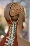 Anatomie Royalty-vrije Stock Afbeeldingen