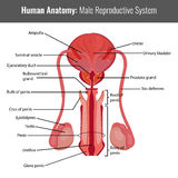 Anatomie détaillée d'appareil reproducteur masculin Vecteur médical Photographie stock libre de droits