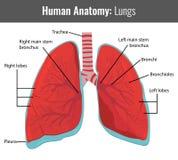 Anatomie détaillée de poumons humains Vecteur médical Photo libre de droits