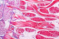Anatomie d'éducation et physiologie de langue sous le microscopique photos libres de droits