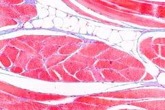 Anatomie d'éducation et physiologie de langue sous le microscopique images stock