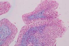Anatomie d'éducation et physiologie de langue sous le microscopique photographie stock libre de droits
