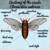 Anatomie d'insecte Cigale d'autocollant Cicadidae Umbrosa de Chremistica Croquis de cigale conception de cigale pour livre de col Image stock