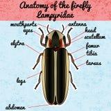 Anatomie d'insecte Lampyridae de scarabée de luciole d'autocollant pyralis de photinus Croquis de scarabée de luciole Conception  Image libre de droits