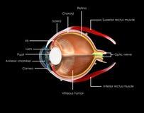 Anatomie d'oeil Photographie stock libre de droits