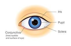 Anatomie d'oeil humain dans la vue de face Photo libre de droits