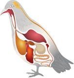Anatomie d'oiseau Images stock