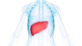 Anatomie d'organes de corps humain et x28 ; Foie avec le system& nerveux x29 ; Photographie stock libre de droits