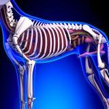 Anatomie d'organes internes de chien - anatomie d'un chien masculin Org interne illustration libre de droits