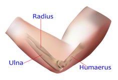 Anatomie d'os d'avant-bras Photographie stock libre de droits