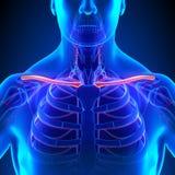 Anatomie d'os de clavicule avec l'appareil circulatoire illustration libre de droits