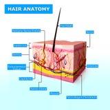 Anatomie des cheveux Images libres de droits