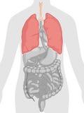 Anatomie de corps humain - poumons Image libre de droits